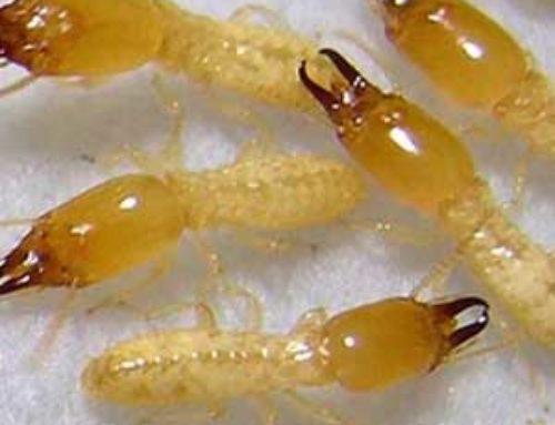 خدمة مكافحة النمل الابيض بالرياض